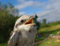 Asking bird. Nine-killer close up with an open mouth Royalty Free Stock Photos