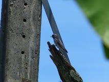 Askleurige woodswallow Stock Afbeeldingen