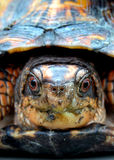 asksköldpadda royaltyfria foton