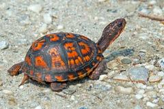 Asksköldpadda Arkivbilder