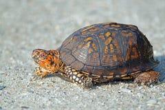 Asksköldpadda Arkivfoto