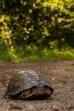 Asksköldpadda Royaltyfri Fotografi