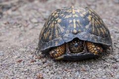Asksköldpadda Fotografering för Bildbyråer