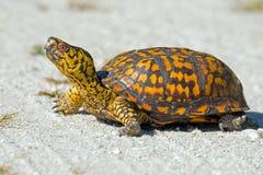 Asksköldpadda Royaltyfri Bild