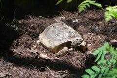 Asksköldpadda Royaltyfri Foto