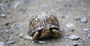 asksköldpadda Arkivfoton