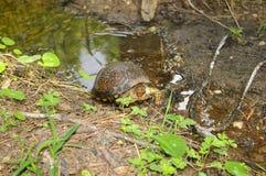 Asksköldpadda i vatten Royaltyfria Bilder