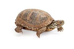 Asksköldpadda som går på vit Arkivfoton