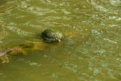 Asksköldpadda som sunning i ett litet damm Royaltyfria Foton
