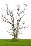 Aísle el árbol de la muerte en arroz. Foto de archivo