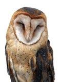 Asleep. Barn Owl asleep. Isolated on white royalty free stock photos