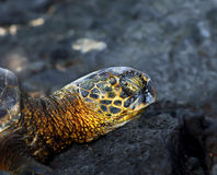 Asleep on black sand beach. Closeup of a Big Island Sea Turtle.  His eyes are closed and he is napping on a large rock Stock Photography