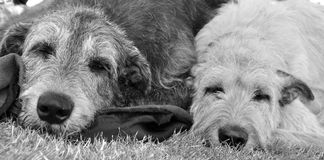 Asleep. Black and white portrait of two sleeping Irish Wolfhounds Royalty Free Stock Photography