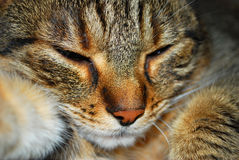 Asleep cat Royalty Free Stock Image