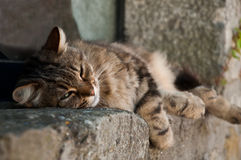 Asleep cat Royalty Free Stock Photos