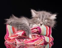 Asleep fluffy kitten Royalty Free Stock Images