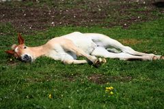 Asleep foal Royalty Free Stock Photo