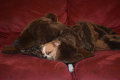 Asleep with his bear. A dog lies asleep under his grizzly blanket on a sofa Stock Photography
