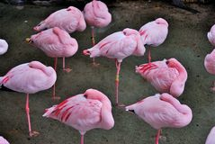 Asleep pink flamingos Stock Photo