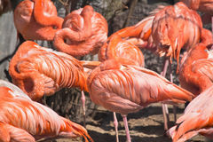 Asleep pink flamingos Royalty Free Stock Photo