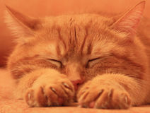 Asleep red cat on an orange background. Asleep red cat with outstretched paws on an orange background Stock Image
