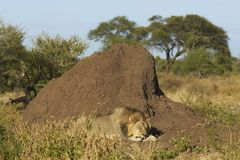 Asleep by a termite mound. Male African Lion (Panthera leo) sleeping next to a large termite mound in Mashuta Game Reserve in Botswana Royalty Free Stock Photos