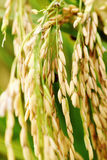 Asmine rice in farm. Royalty Free Stock Image