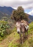Asno, animal de exploração agrícola Fotografia de Stock