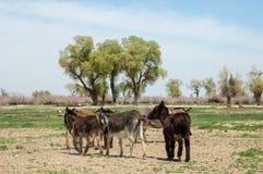 asno, burro, jackass, cabra, moke, neddy, burro, neddy imagem de stock royalty free