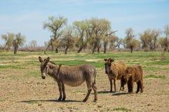 asno, burro, jackass, cabra, moke, neddy, burro, neddy fotografia de stock