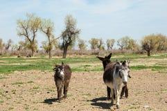 asno, burro, jackass, cabra, moke, neddy, burro, neddy foto de stock royalty free