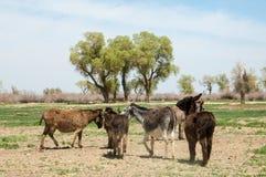 asno, burro, jackass, cabra, moke, neddy, burro, neddy fotos de stock
