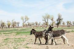 asno, burro, jackass, cabra, moke, neddy, burro, neddy foto de stock