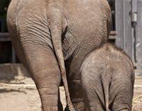Asno del elefante imagen de archivo libre de regalías