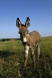 Asno do potro (asius do africanus F. do Equus) Imagem de Stock Royalty Free