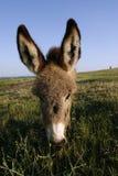 Asno do potro (asius do africanus F. do Equus) Foto de Stock