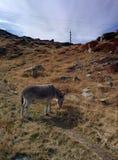 Asno em Mont Blanc Fotos de Stock
