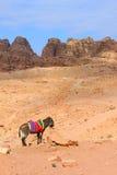Asno em PETRA, Jordânia Fotografia de Stock