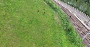 Asno em um prado, asno de passeio que pasta, nos cumes de Áustria video estoque