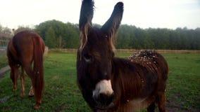 Asno que olha a câmera no pasto do cavalo Cavalos do rebanho que pastam no campo verde video estoque