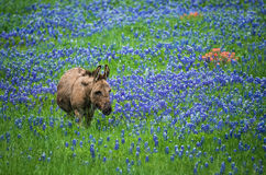 Asno que pasta no pasto do bluebonnet de Texas Fotos de Stock Royalty Free