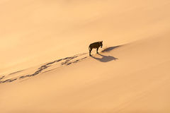 Asno só e parte pequena de arbusto, Sahara foto de stock royalty free