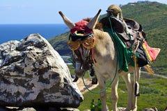 Asno, St Kitts e Nevis das caraíbas fotografia de stock