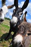Asnos 3 Fotografia de Stock Royalty Free