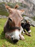 Asnos - asinus do africanus do Equus imagem de stock royalty free