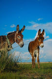 Asnos encantadores em Outer Mongolia Imagem de Stock Royalty Free