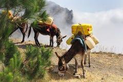 Asnos que carreg a água em Cabo Verde Foto de Stock
