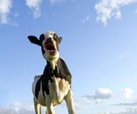 Asombrado mirando la vaca Fotos de archivo libres de regalías