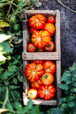 Asortowani pomidory w brown papierowych torbach Różnorodni pomidory w pucharze zdjęcie stock