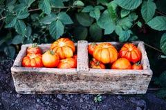 Asortowani pomidory w brown papierowych torbach Różnorodni pomidory w pucharze obrazy royalty free
